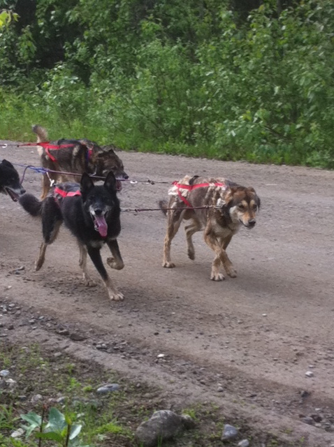 widgeon-zak-team-ineka-mushing-alaska-forto