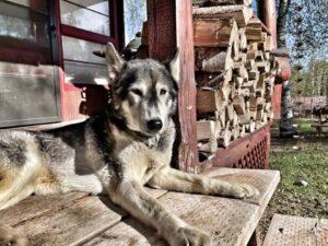 A very special team ineka sled dog Raegan